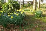 Glorious daffodils in the spring.
