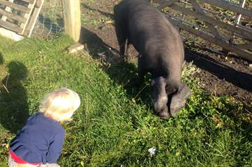 This is Beauty a Great Black pig, with a young friend; she thinks she is a dog and has inspired the name of the retreat.