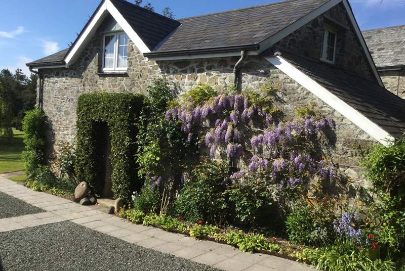 Wisteria around the cottage entrance in the spring. The door to the games-room is on the left (not shown).