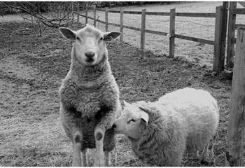 The pet sheep, Scrappy and Pickwick, will love to meet you.