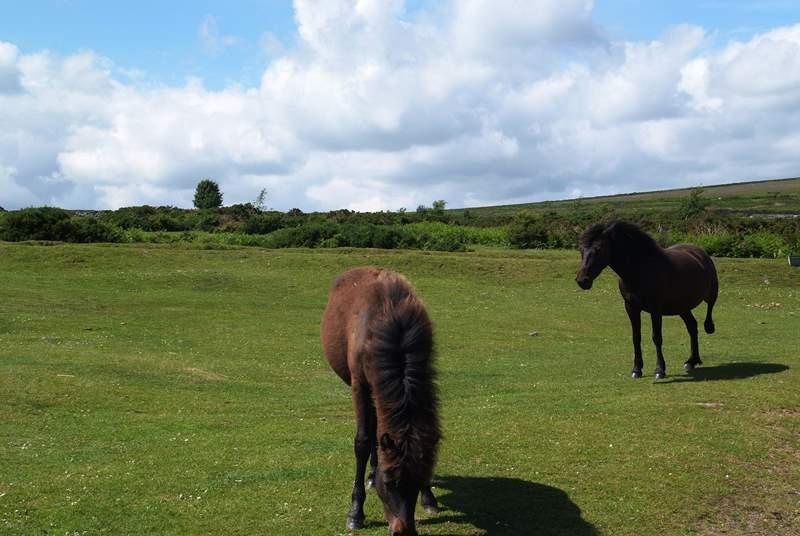 Dartmoor ponies.