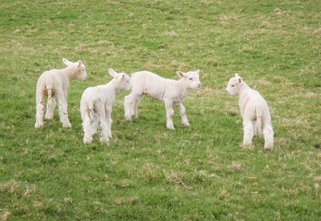 Barbridge Farm often has visiting sheep and cute little lambs.