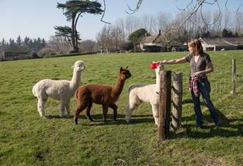 The owners are happy to introduce you to their Alpacas, Bondi, Crinny and Polo.