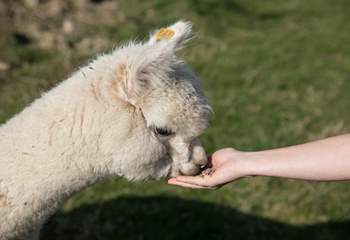 You may be able to feed these gentle Alpacas.
