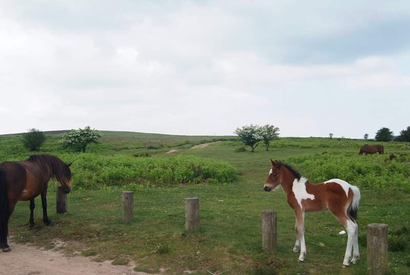 You are sure to come across groups of Exmoor ponies whilst you are exploring.