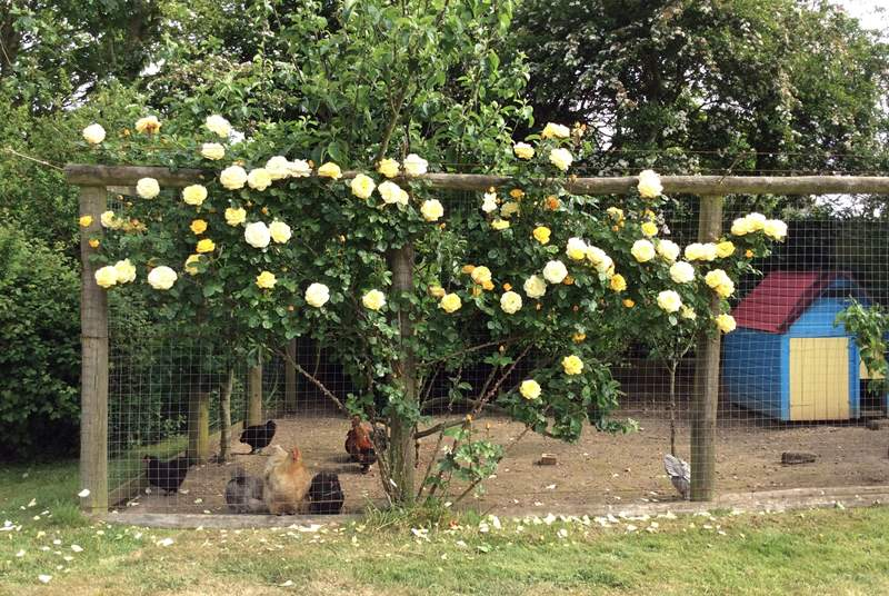 The chicken coop opposite the owners' cottage, covered in roses throughout the summer...what a lovely home for the lucky bantam hens!