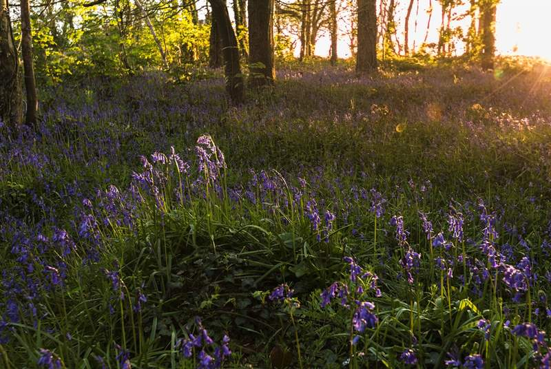 The bluebells at Penrose are beautiful during spring