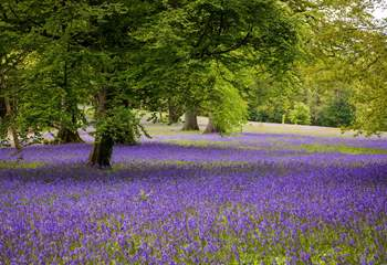 Enjoy the bluebells at Enys Woods.