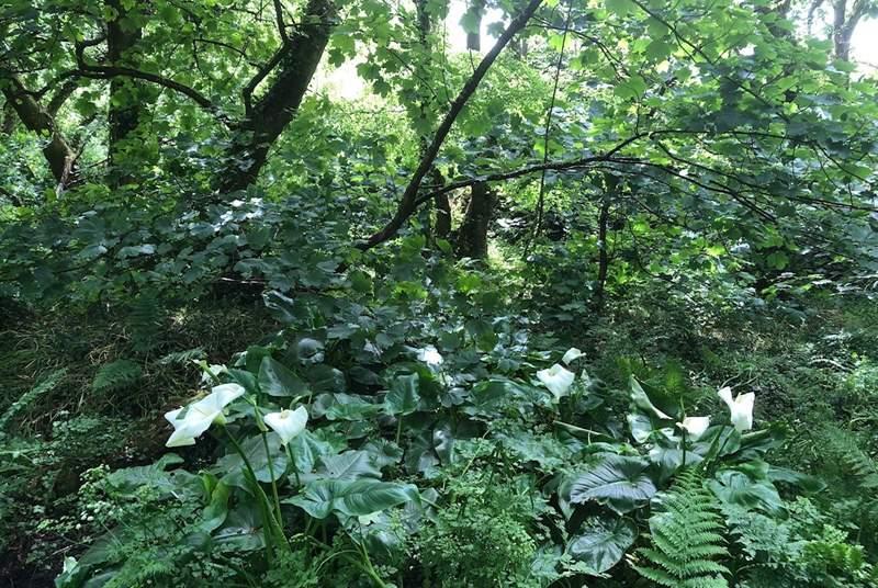Wild arum lilies in St Loy woods.