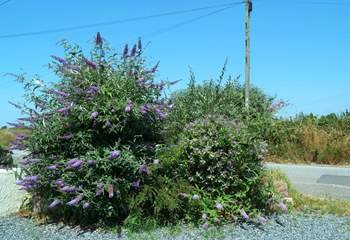 Pretty flowering shrubs beside the entrance to the parking-area.