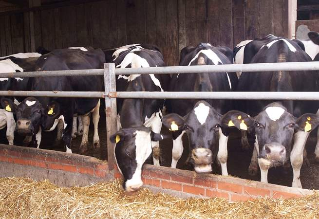 The dairy herd will become a familiar sight.