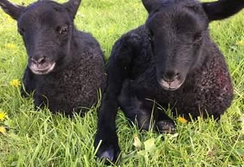 Cute little lambs!