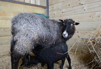 The owners' Gotland sheep and hungry twin lambs.
