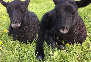 These delightful Gotland lambs were born on the farm.