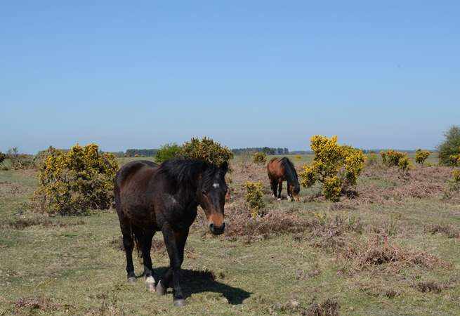 New Forest ponies roam free, along with cattle and pigs.