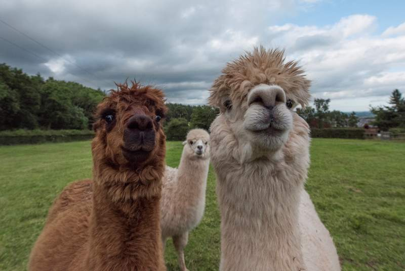 Alpaca faces!