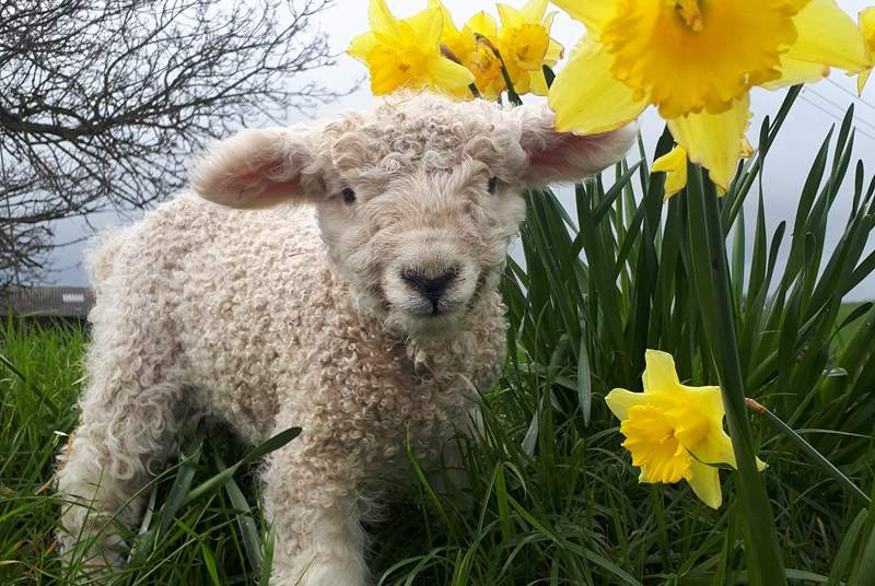 Children will love this setting - lambs in springtime in particular.