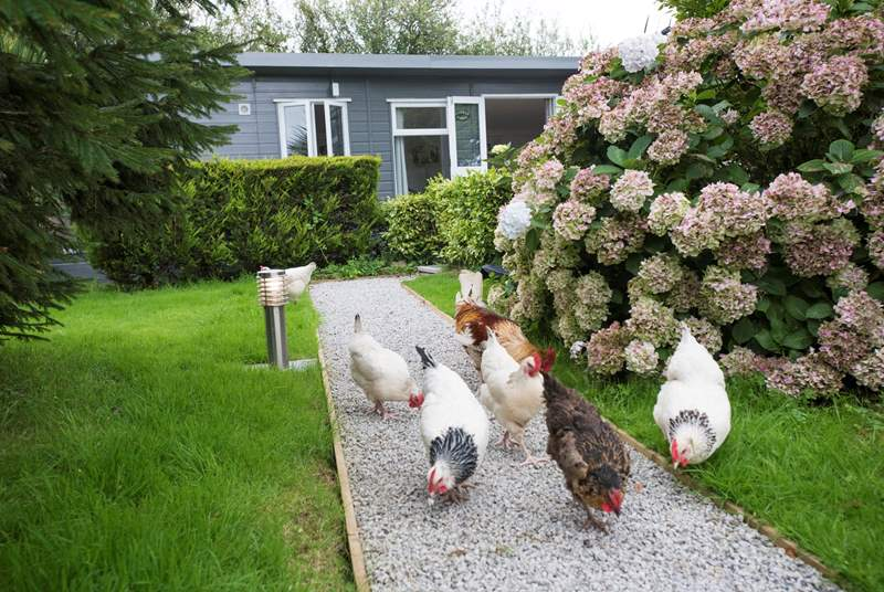 You will get to see plenty of chickens who roam free-range around the the Owners' large lawned area.
