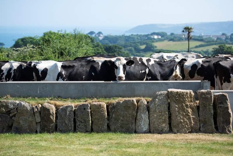 Milking time.
