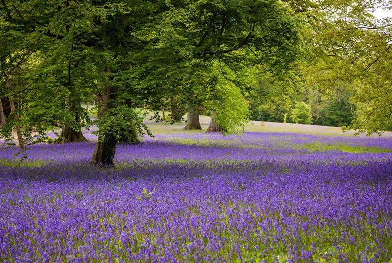 Visit Enys in the spring for fields of bluebells.