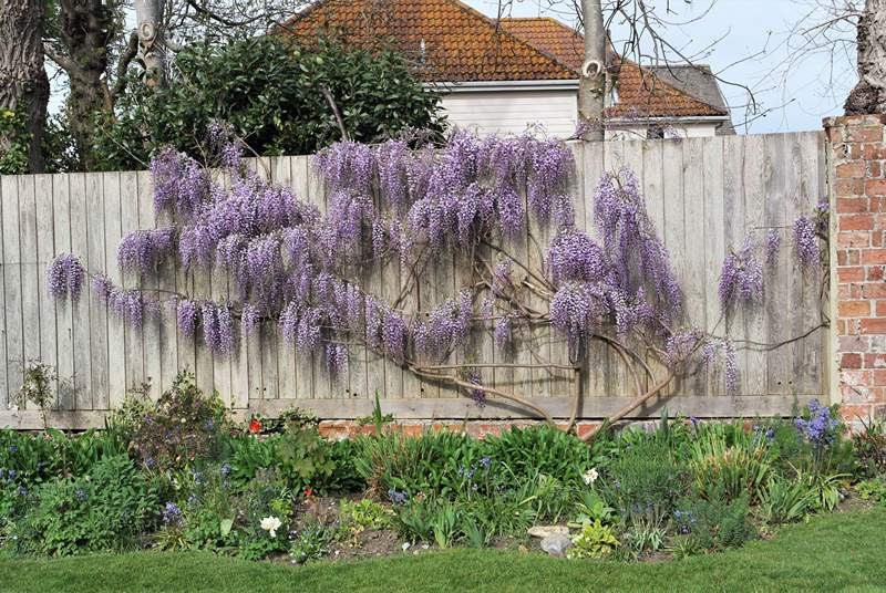 Wonderful wisteria in full bloom.