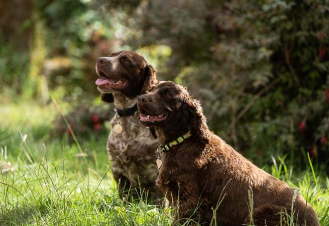 The owner's two friendly spaniels.