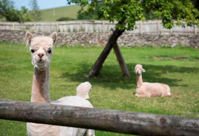 As well as alpacas.