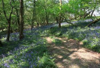 The woodland in springtime has a carpet of bluebells, the smell is divine.