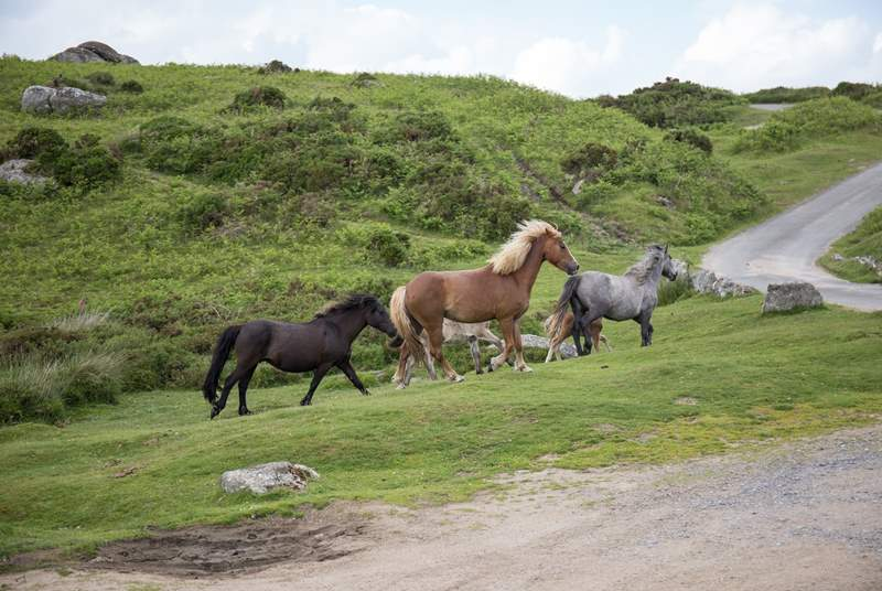 Dartmoor is such a magical place. Meandering through and around the Dartmoor ponies is a memory you will treasure.