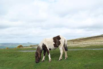 Dartmoor ponies grazing on the moor.