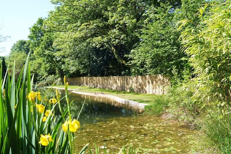 Wild ducks visit the pond each year.