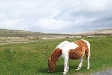 A Dartmoor pony!