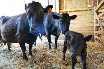 The Owner breeds Dexter cattle - the new calves are very small and very cute!
