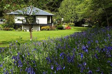 A wonderful drift of bluebells adorns the garden in spring.