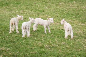 Barbridge Farm often has visiting sheep and cute little lambs.