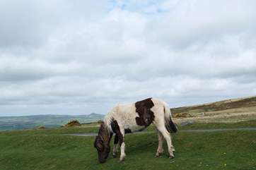 Dartmoor ponies are found all over the moor.
