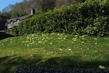 A grassy bank full of spring primroses.