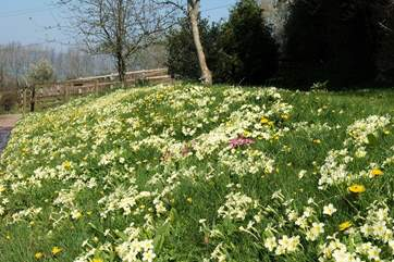 The spring flowers along the bank as you turn into Wadsbury Farm are stunning.