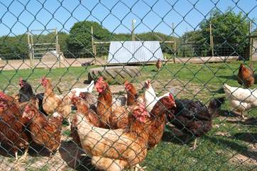 These are all rescue hens, so lucky to have been given a second home with loving owners.