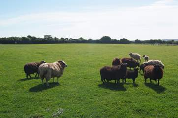 The sheep have acres in which to graze happily.