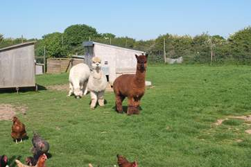 The alpacas are happy to share fields with the hens and sheep.