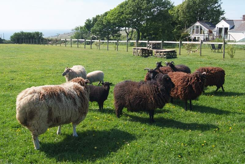The sheep are a mix of different breeds, all inquisitive and likely to come and say hello when you walk around the edge of their field.