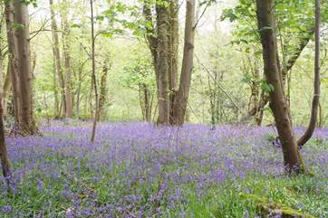 These beautiful bluebell woods are a two minute walk down the lane.