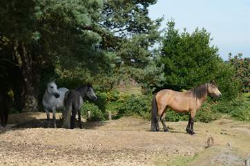 The New Forest National Park has ponies, cattle and pigs roaming free.