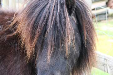 Marley the very cute miniature Shetland pony.