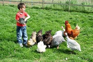 Feeding the chickens...