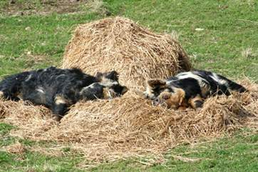 Boris (left) and Sunny (right) enjoying a piggy snooze in the sunshine...