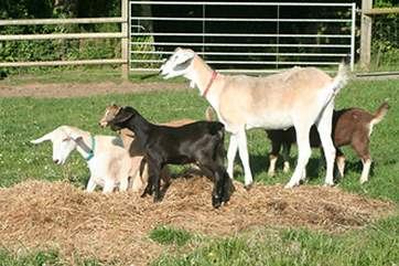 The collection of goats are adorable.