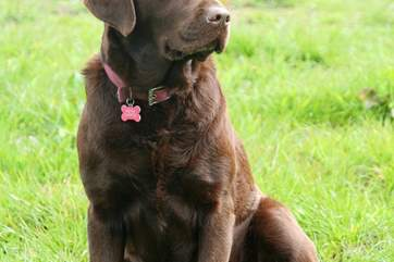 Coco, the family-friendly chocolate Labrador has recently been joined by a new friend and she can't wait to meet you!