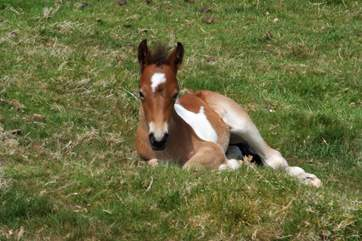 You may even be lucky enough to see one of the foals born on Roughtor.